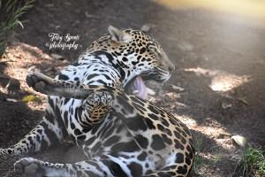 jaguar lifting leg to lick text 600x400