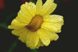 macro shot yellow flower photoshop(640x427)