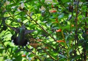 hummingbird 2500 iso, 4000 shutter, 5.6 f 002 text