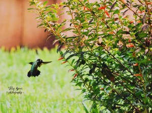 hummingbird 2500 iso, 4000 shutter, 5.6 f 003 brighter cropped. 900x600psd