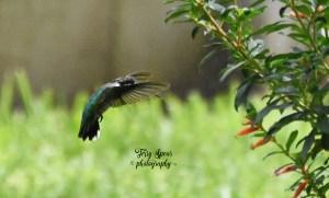 hummingbird 2500 iso, 4000 shutter, 5.6 f 007 text jpg