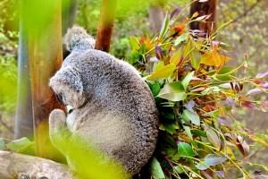 koala-800x533