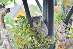 koala-bear-looking-this-way-800x533