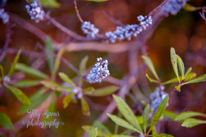 blue-berries-on-plant-900-058