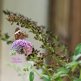 california-buckeye-brown-butterfly-026