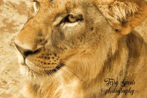 golden-lion-portrait-640x427