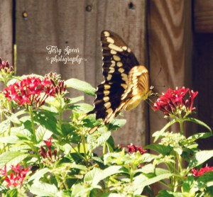 huge-yellow-and-black-swallotail-on-pentas-149