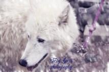 sabine-arctic-wolf-snowstorm-warm-text640x427