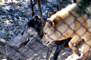 black-wolf-arctic-wolf-800x534