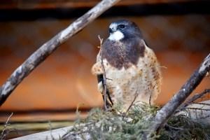 falcon-800x534