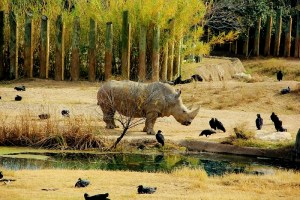 rhino-and-vultures-800x533
