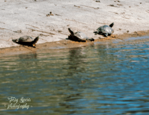 walk-3-turtles-900-036