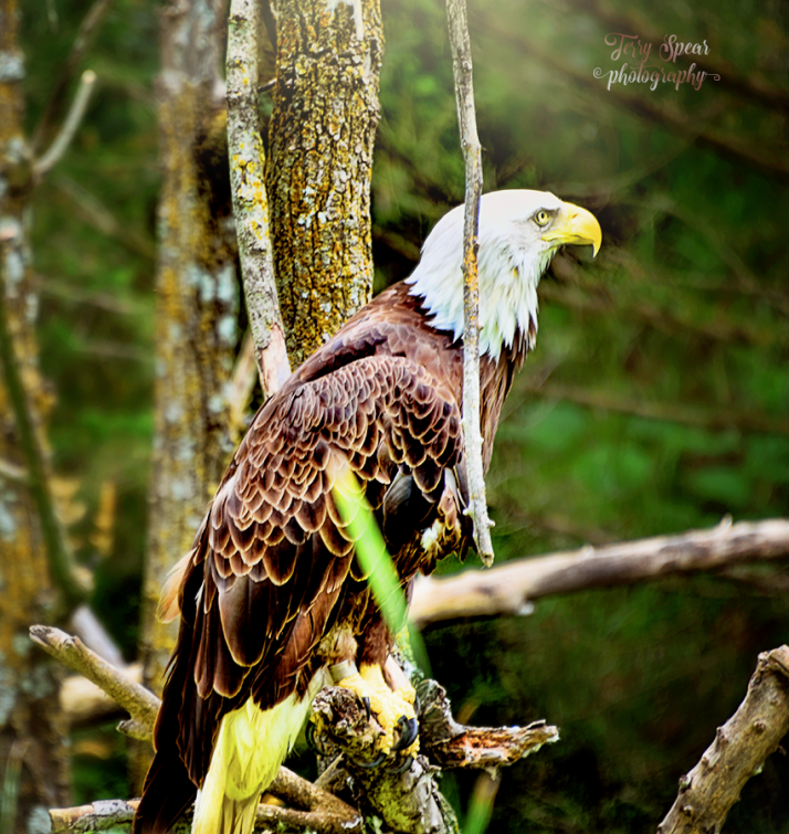 bald-eagle-profile-cropped-spicy-900-1