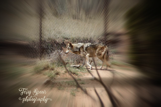 mexican-gray-wolves-640x426-with-zoom-burst-with-vignette-drama-boost