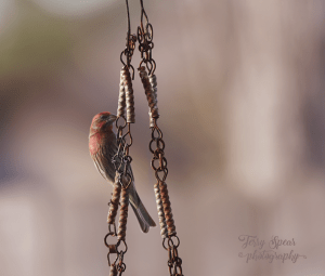 900-house-finch-on-chain-big-lens-037