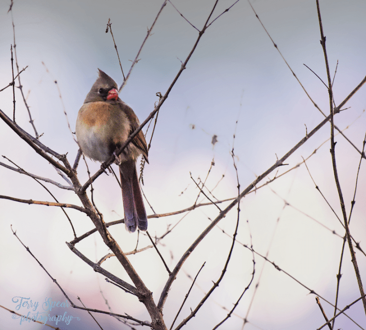 female-cardinal-on-bare-branches-900