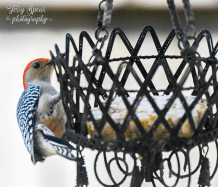 goldfinch-red-bellied-woodpecker-068-recovered