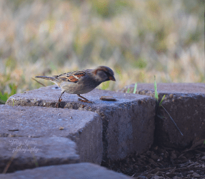 house-finch-on-the-move-900-big-lens-004