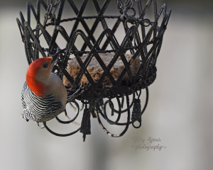 woodpecker-looking-at-me-900-031