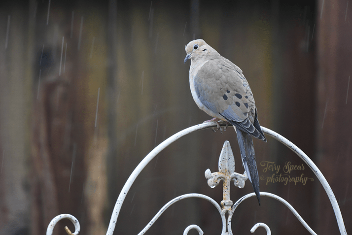 dove-raindrops-are-falling-on-my-head-900-8529