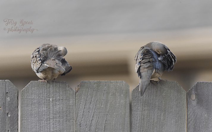 doves-grooming-themselves-on-fence-900-002