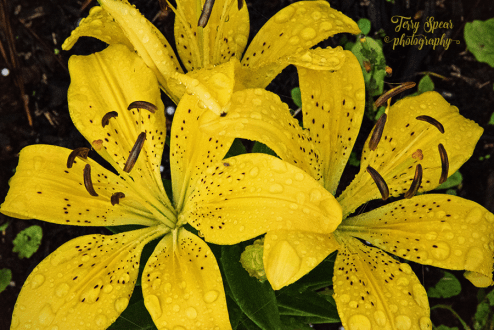 Asian Lily 900 016