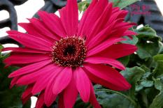 gerbera daisy red 900