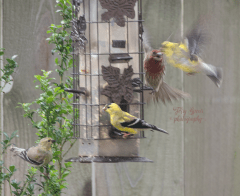 goldfinches--and house finch in flight annoyed 900 051