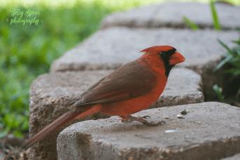cardinal 900 019