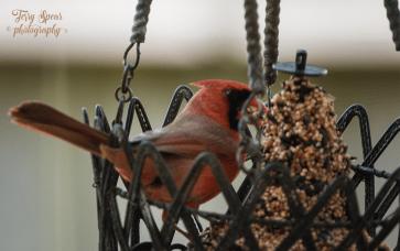 cardinal beak full of seeds 900 014