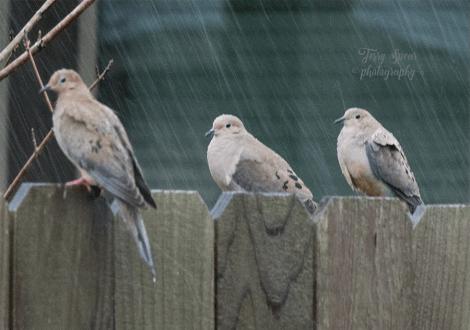doves in rain 900 014