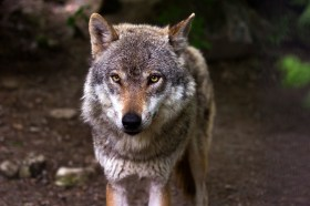 free_photo_wolf_2_by_mentalcinephile-da1nnz7