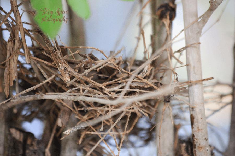caridnal nest 900