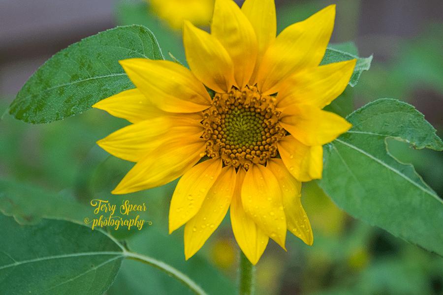 close up large sunflower1 900 006