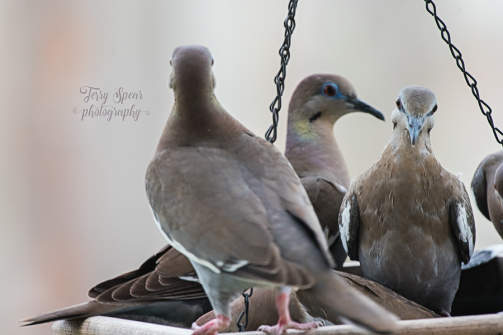 Dule of Doves 900 006
