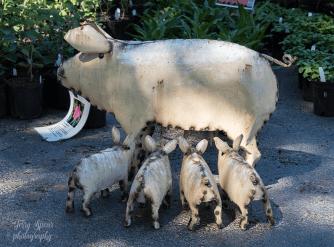 Hope Farms piglets 900 032