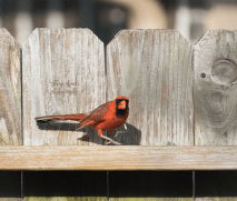 male cardinal 900 014