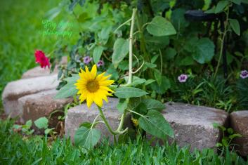 sunflower bent 900 003
