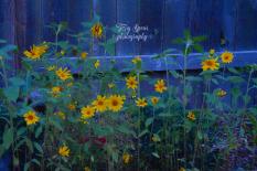 sunflowers blue hour oil 900 010