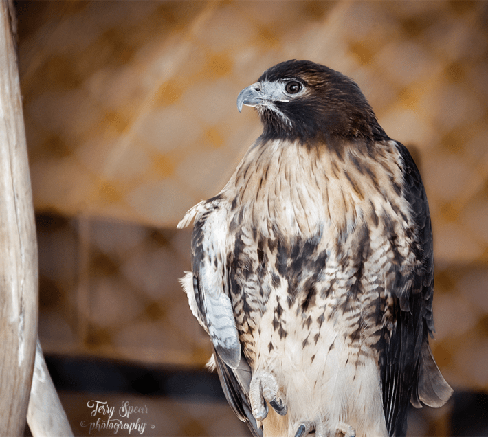Thanksgiving Omaha hawk 900 relative 435