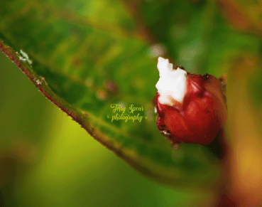 macro flowers unkwnon crepe myrtle 900 065