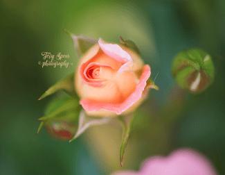 macro peach rose 900 037