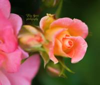 macro peach rose 900 048