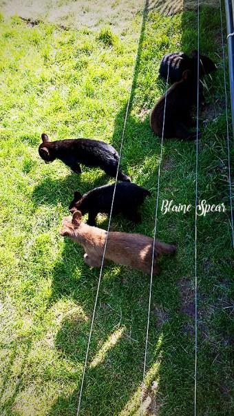 bear cubs 900