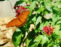 butterfly orange on flower Gulf fritillary