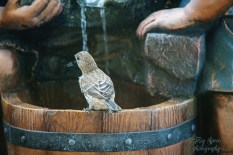 housefinch on water fountain1 900 051