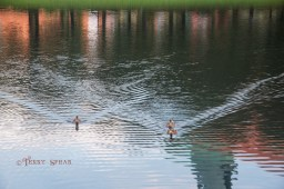 Orlando Disney ducks like motorboats on the water 900 RWA 2017 3301