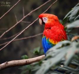 Scarlet Macaw 900 711