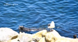 Sea Lions and a Seagull 900 San Diego 4620