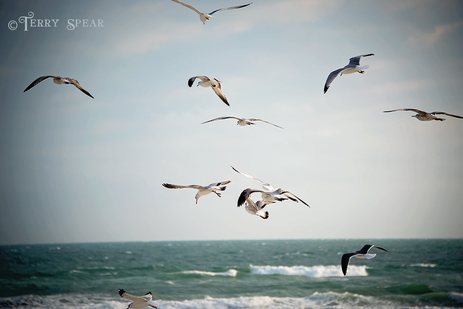 seagulls in flight 900 Daytona Beach 357